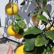 Grepfrut anul 3 roditor cu fructe in el (3)