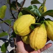 Lamai altoit anul 3 roditor cu fructe in el (9)
