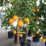 Portocal altoit anul 3 roditor cu fructe in el (6)