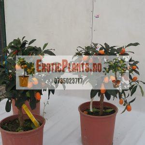 kumquat 12 L anul 3 (1)