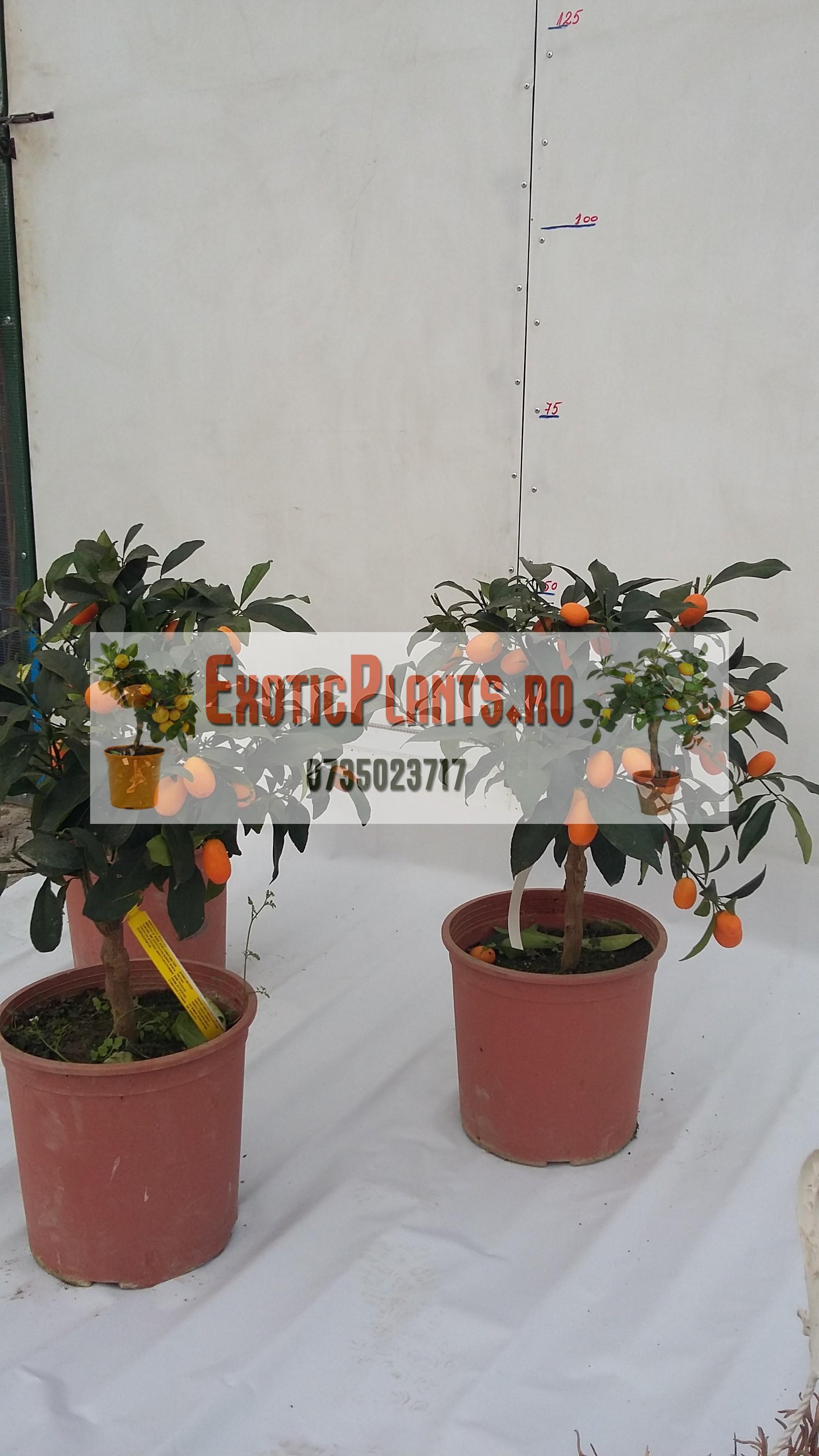 Kumquat bonsai la ghiveci – anul 3 – de vanzare