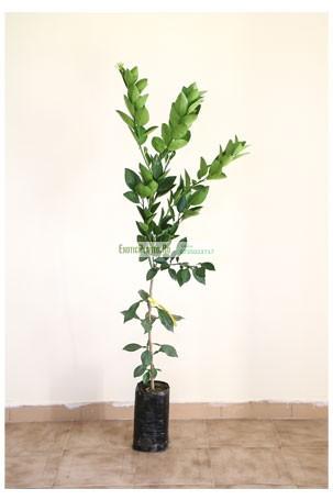 Mandarin altoit la ghiveci – anul 2 – de vanzare