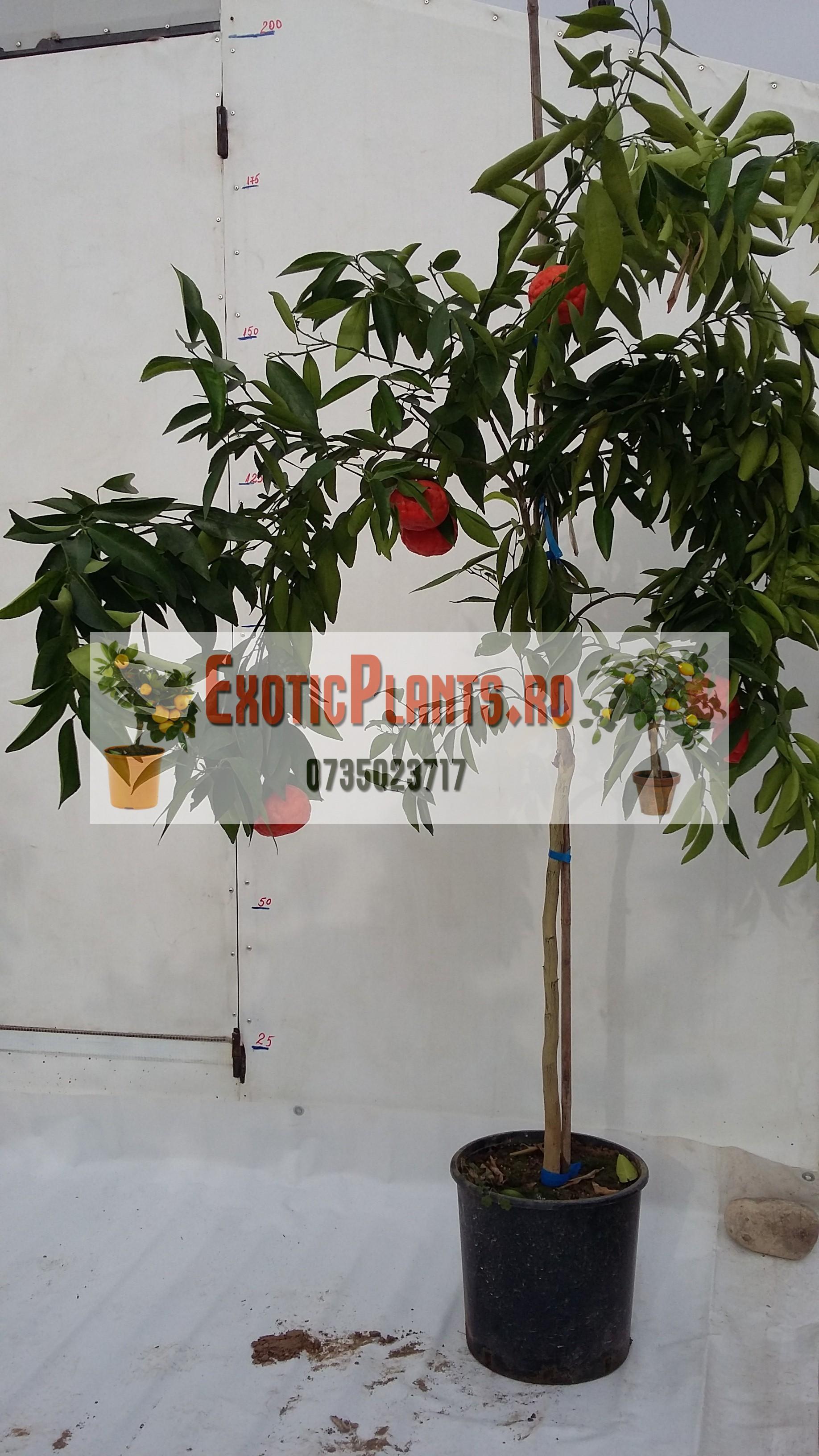 Mandarin altoit la ghiveci – anul 3 – de vanzare