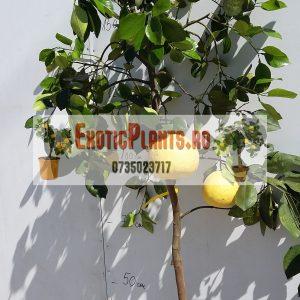 Pomelo altoit anul 3 roditor cu fructe in el (7)