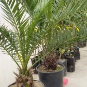 palmier canarian 3 ani (2)