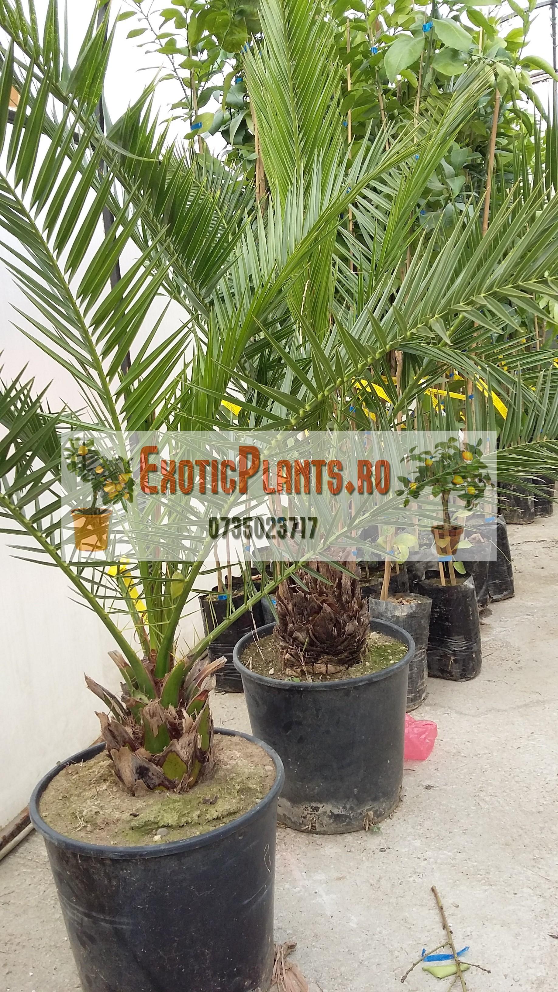 Palmier canarian la ghiveci – 3 ani