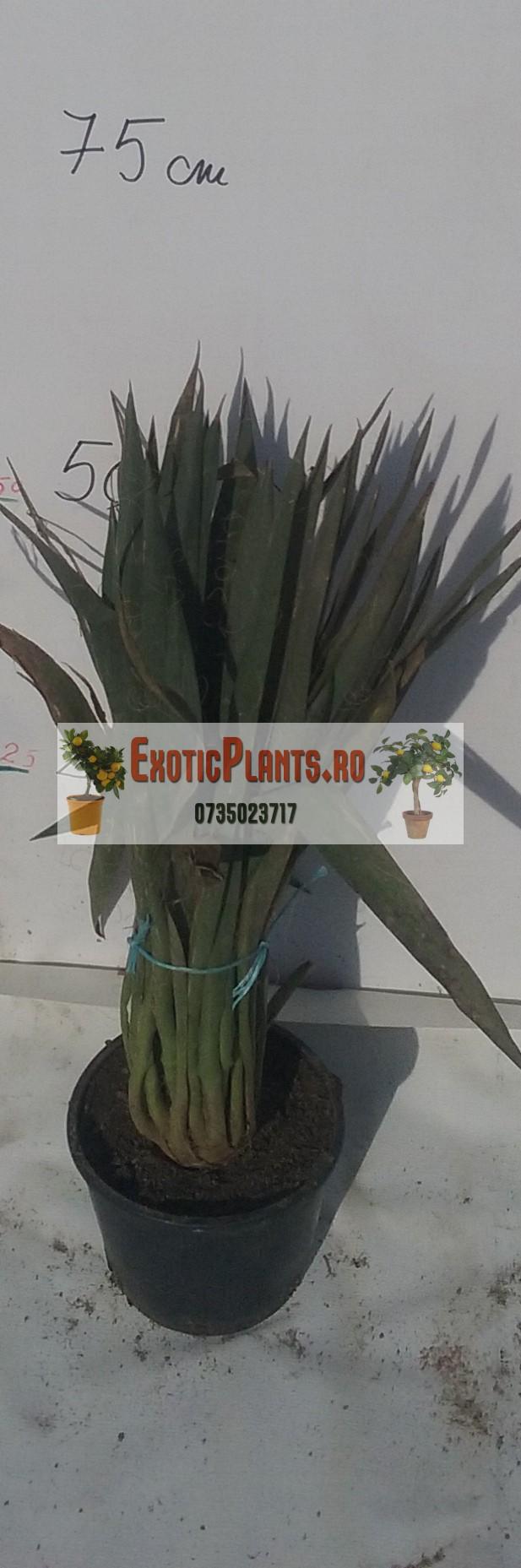 Yucca la ghiveci